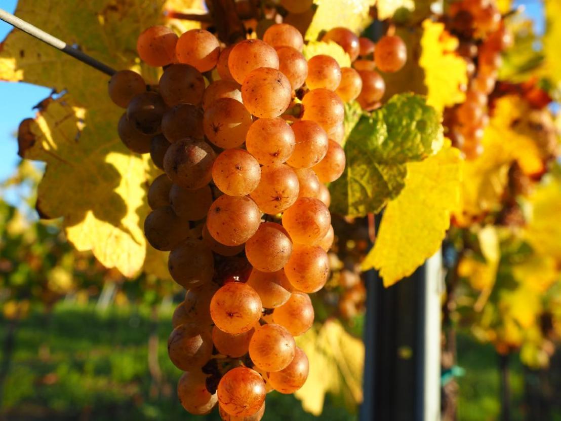 Září ve vinařství: romantika, nebo tvrdápráce?